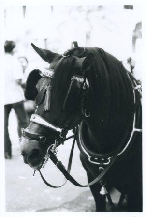 cavallo-espagnol